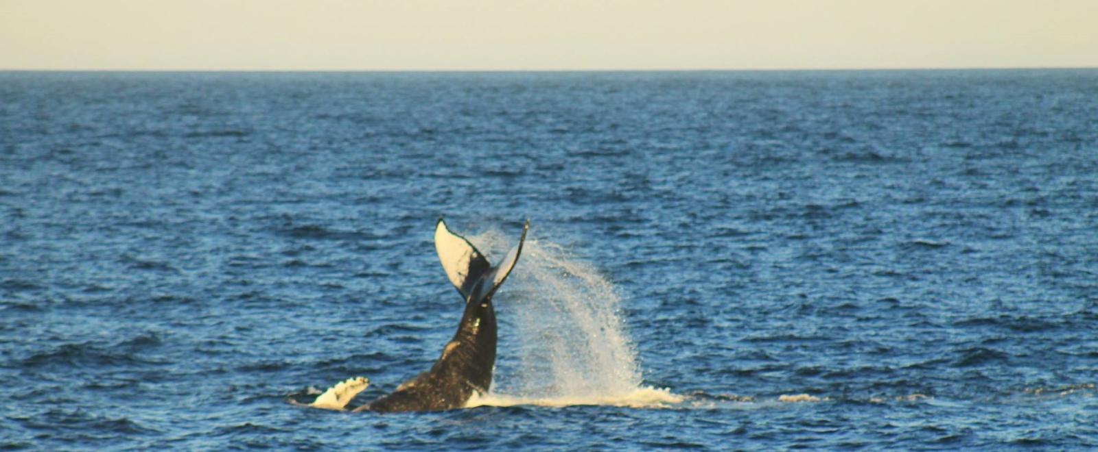 Conservazione di balene e puma in Patagonia, Argentina